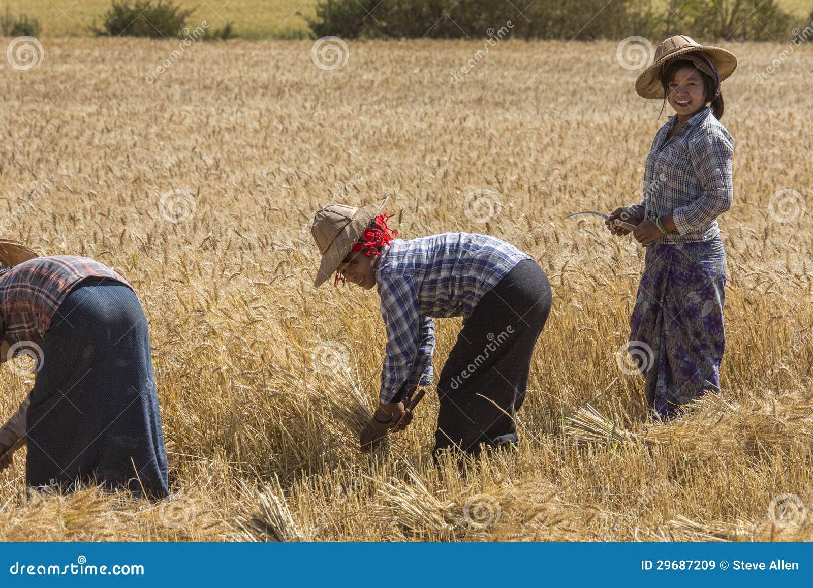 crop of wheat in the countryside near Kalaw in Myanmar (Burma