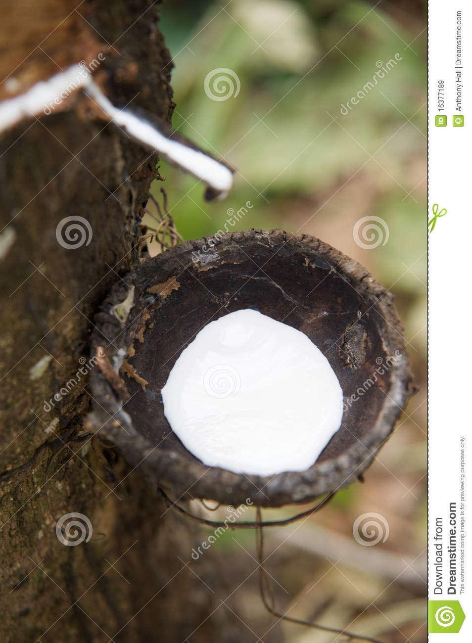 harvesting natural rubber latex royalty free stock images