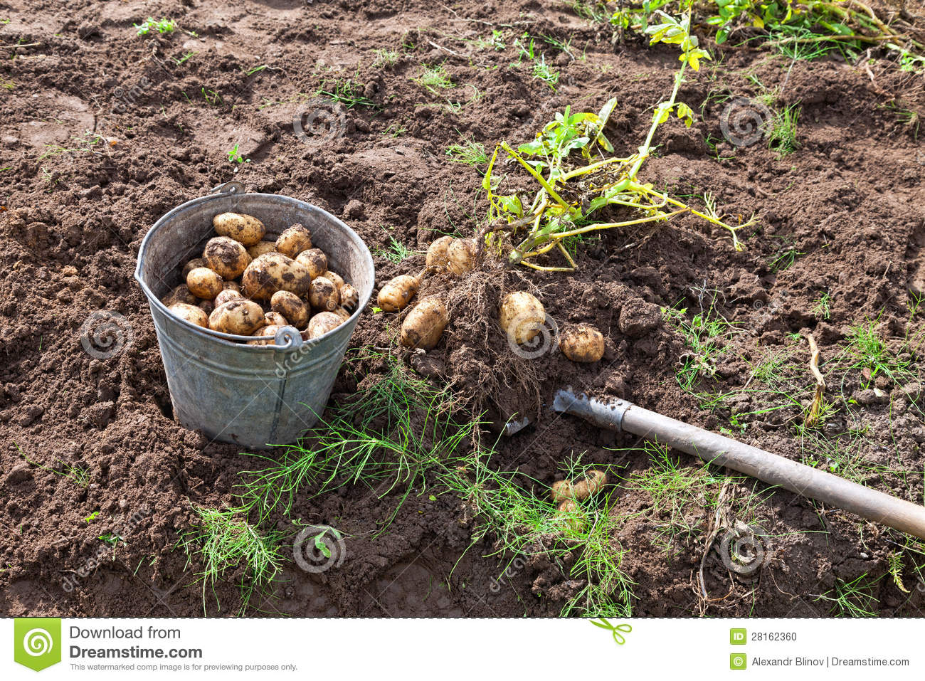 Harvesting Potatoes Stock Photo - Image: 28162360