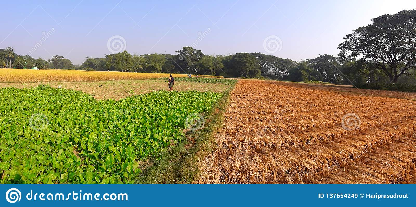 Harvesting time photo of rice paddy and vegetable.