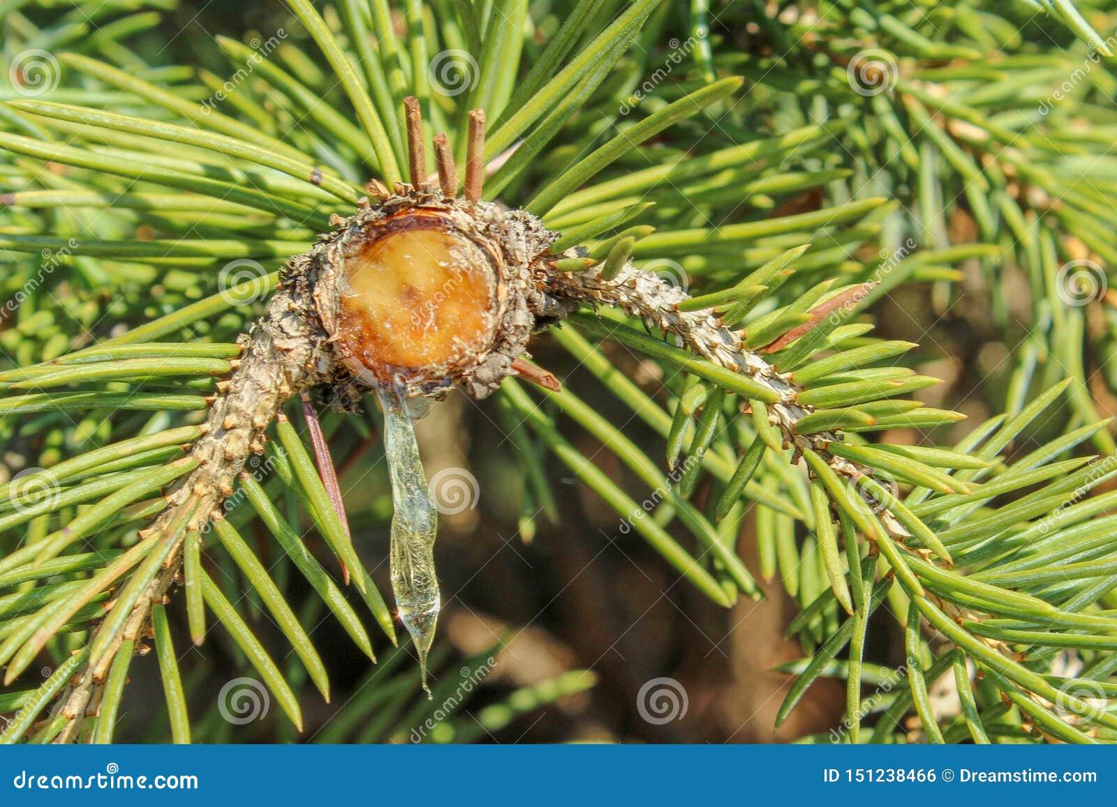 Harztropfenfänger von der Niederlassung eines Nadelbaums