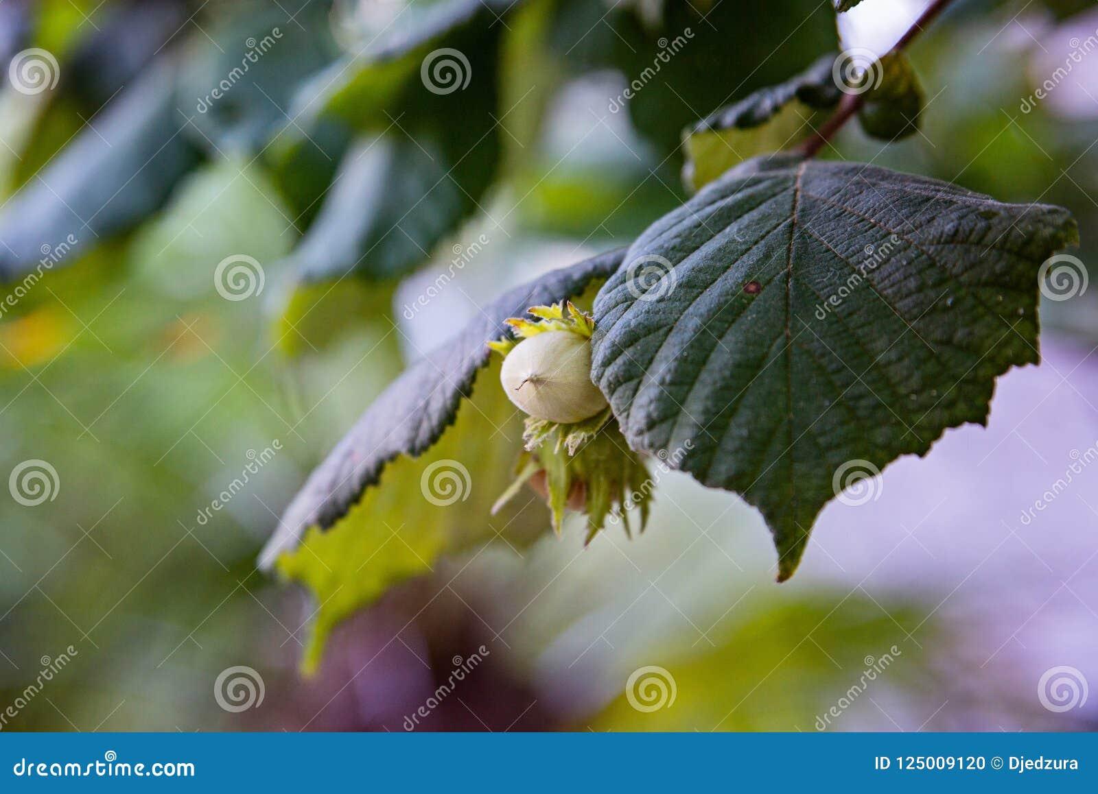Haselnüsse auf Baum am Sommer