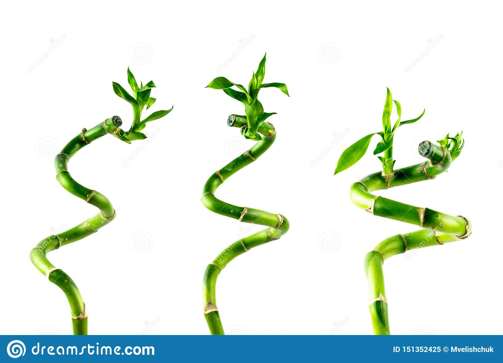 Haste de três houseplant de Lucky Bamboo Dracaena Sanderiana com folhas verdes, torcida em uma forma espiral, isolada no branco