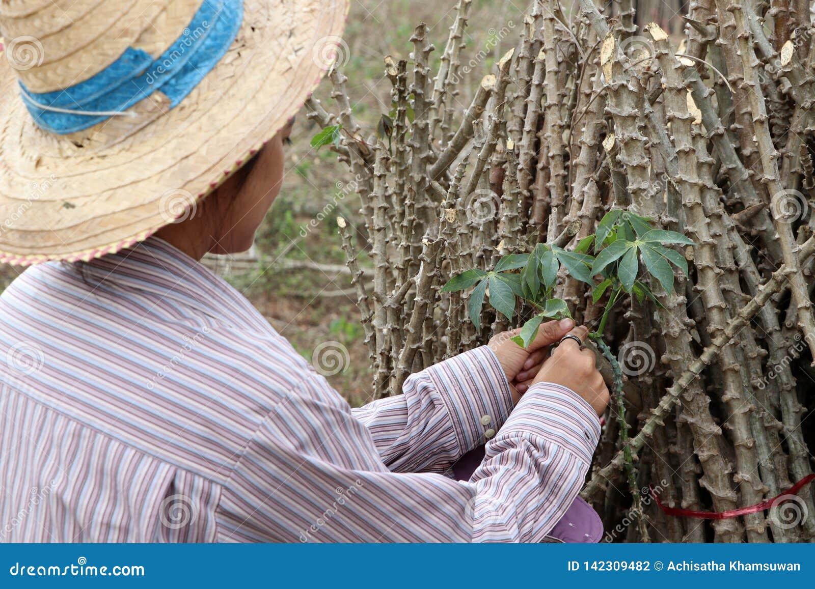 Haste fêmea da folha de Catching do fazendeiro da planta de tapiocas com membro das tapiocas que cortou a pilha junto na exploraç
