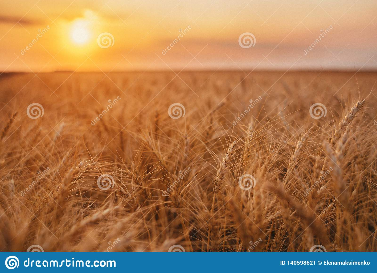Hastes amarelas orgânicas maduras do trigo no campo no campo no fim do verão