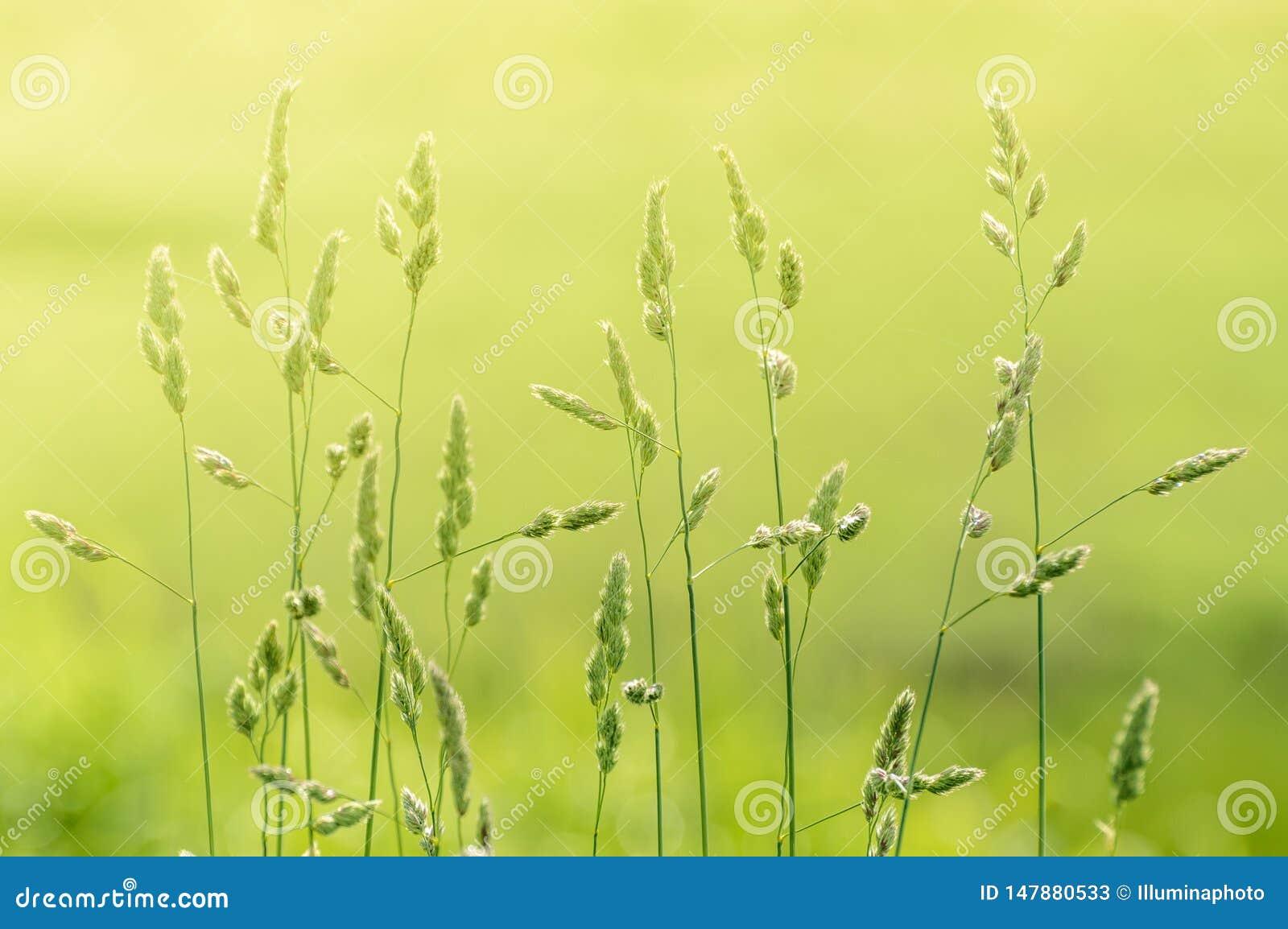 Hastes longas da grama selvagem natural retroiluminada pela luz solar morna obscura da manhã no campo