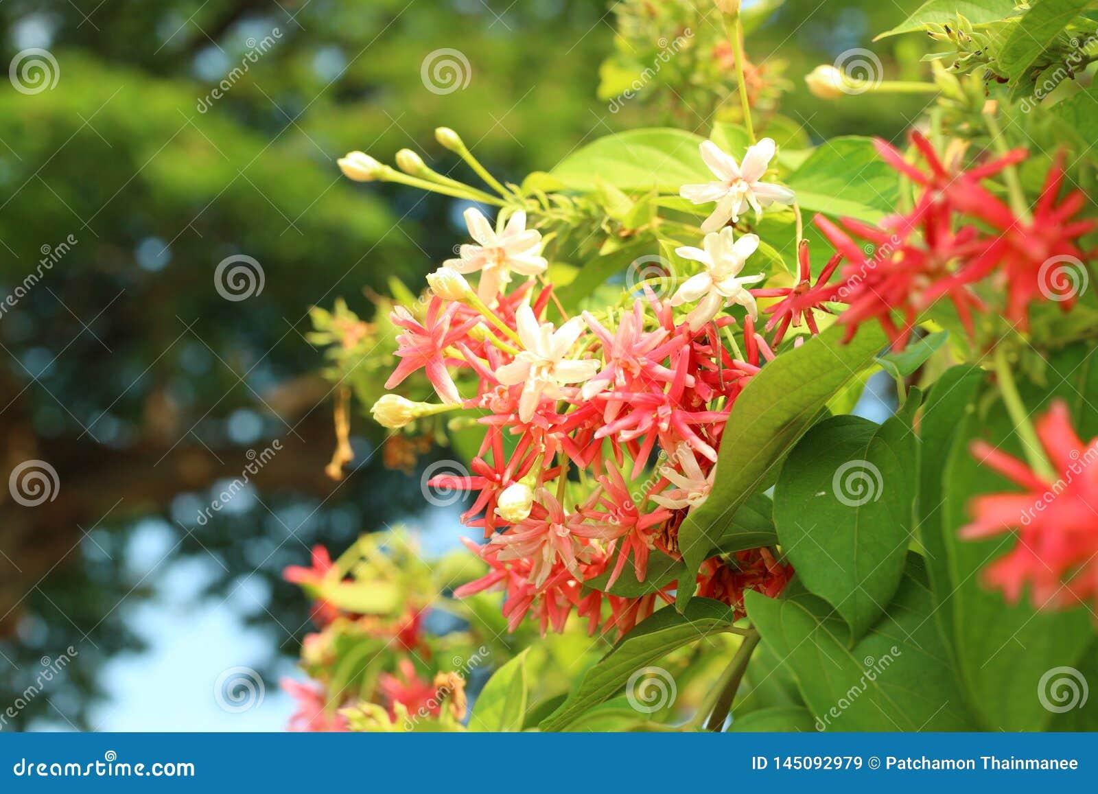 Hat schöner rosa Naturhintergrund der Rangun-Blumenkriechpflanze einen milden Duft