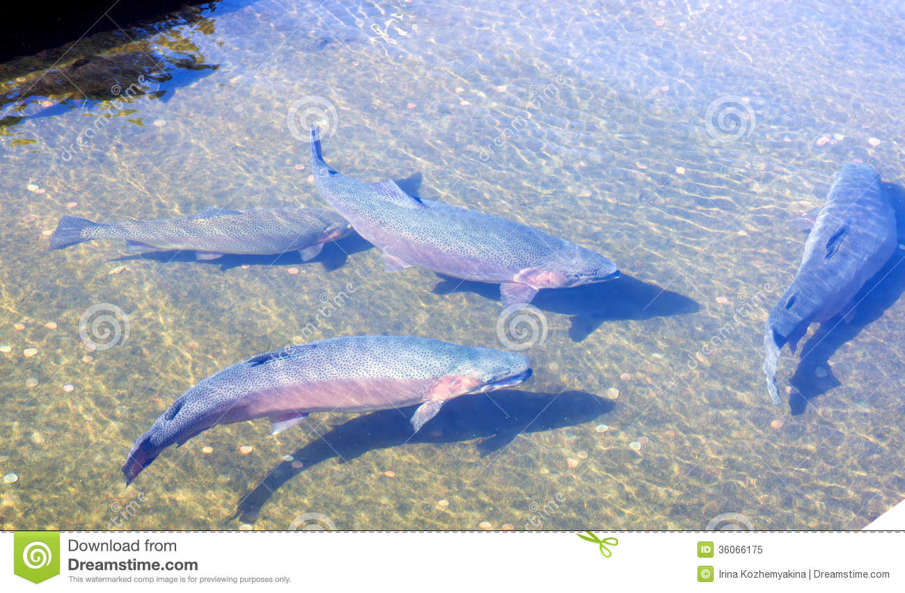hatchery trout. big fish in a concrete pool royalty free stock, Fly Fishing Bait