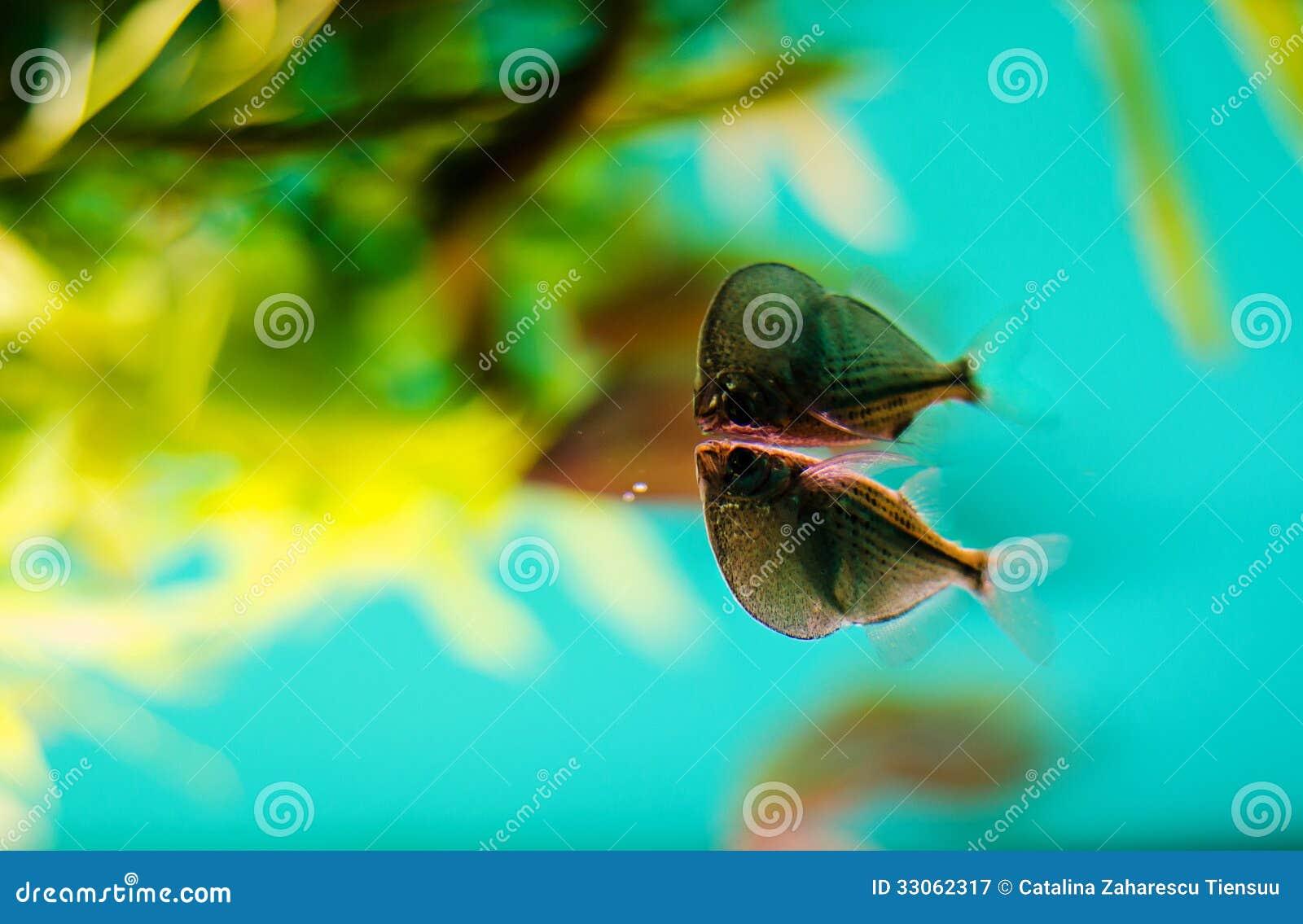 Hatchetfish Royalty Free Stock Photography - Image: 33062317