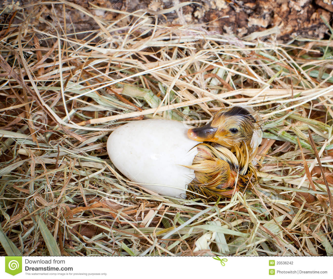 Hatching of a duckling