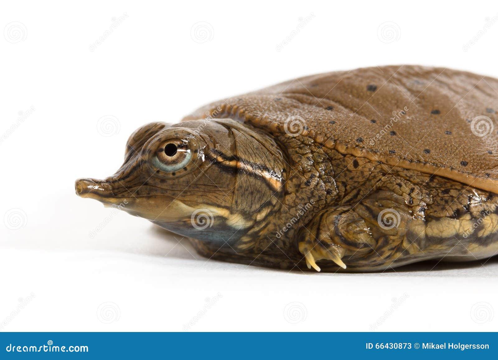Hatchling Spiny Softshell Turtle - Left Profile