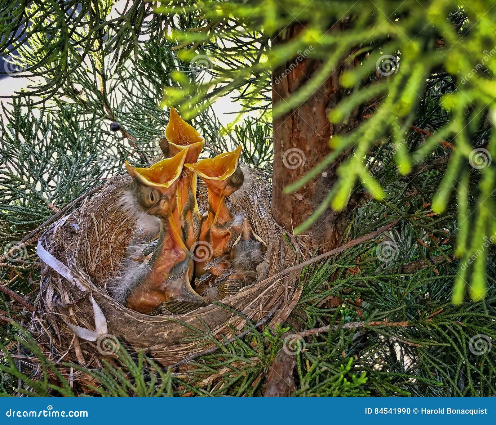 Hatchlings που ικετεύει για τα τρόφιμα