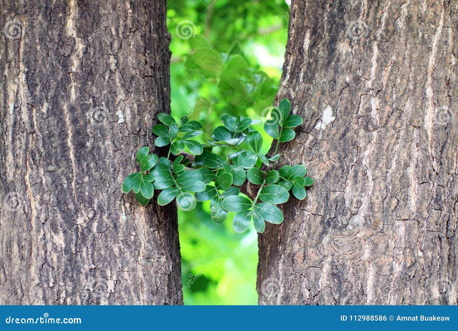 Haulm e folha, erva do fruto tailandês comestível do fruto de madeira-Apple do asiaHerb Makwid do subcontinente, Limonia, Curd Fr