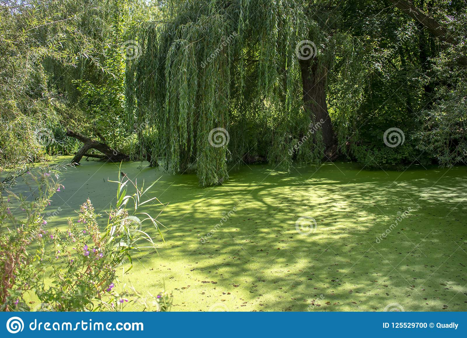 Haunted pond with algae and weeping willow
