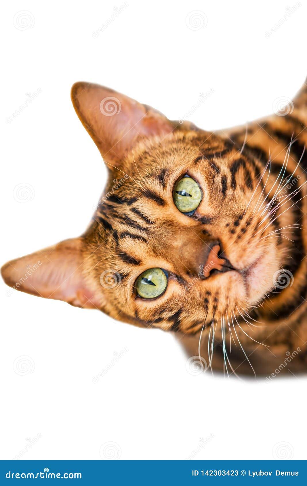 Hauptrot mit Bengal-Katzenzucht der schwarzen Flecke, selektiver Fokus,