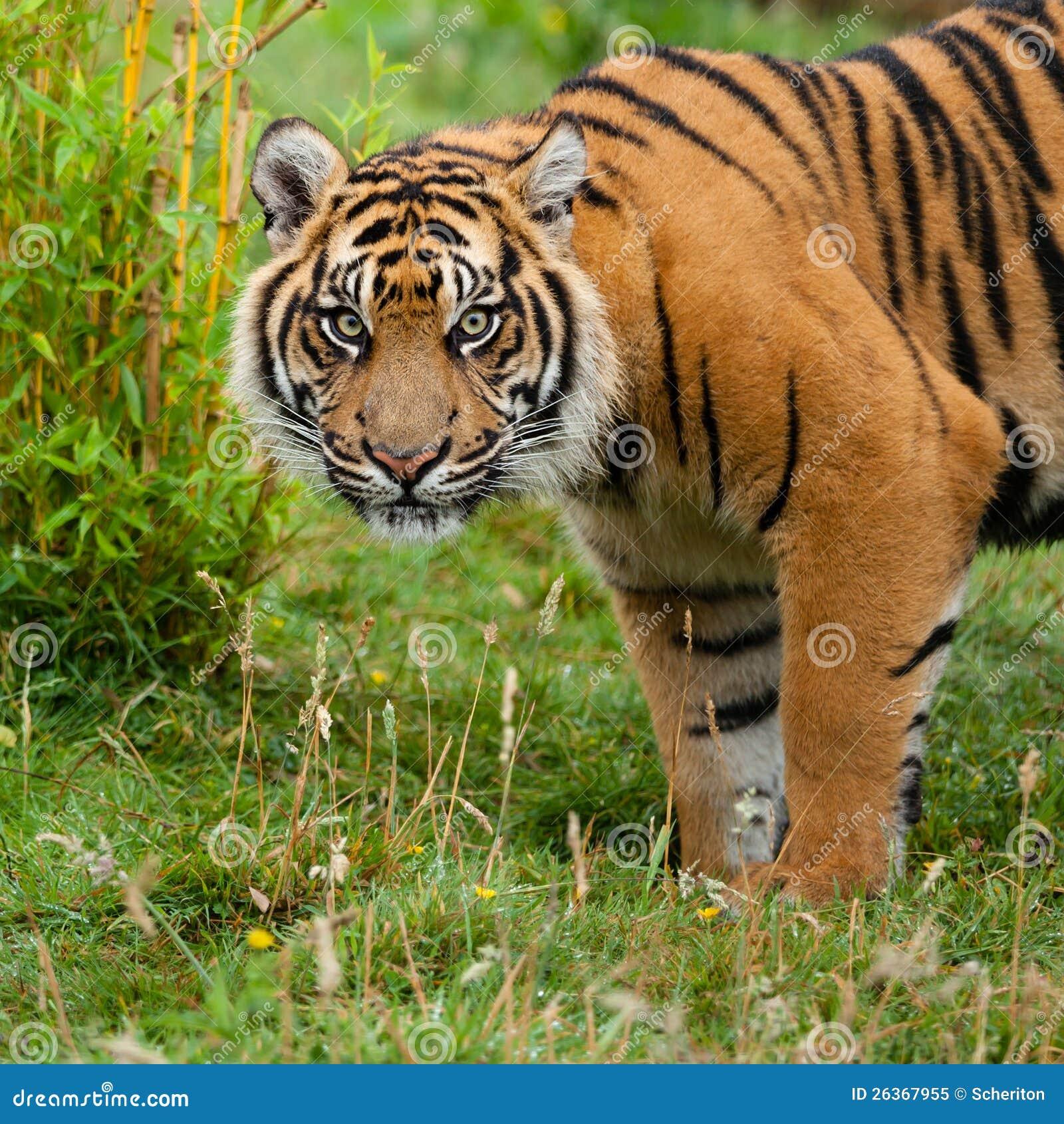 Hauptschuß des Sumatran Tigers im Gras