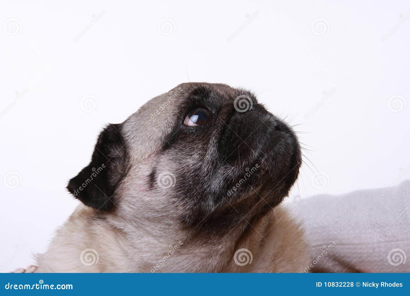 Hauptschuß eines Pug