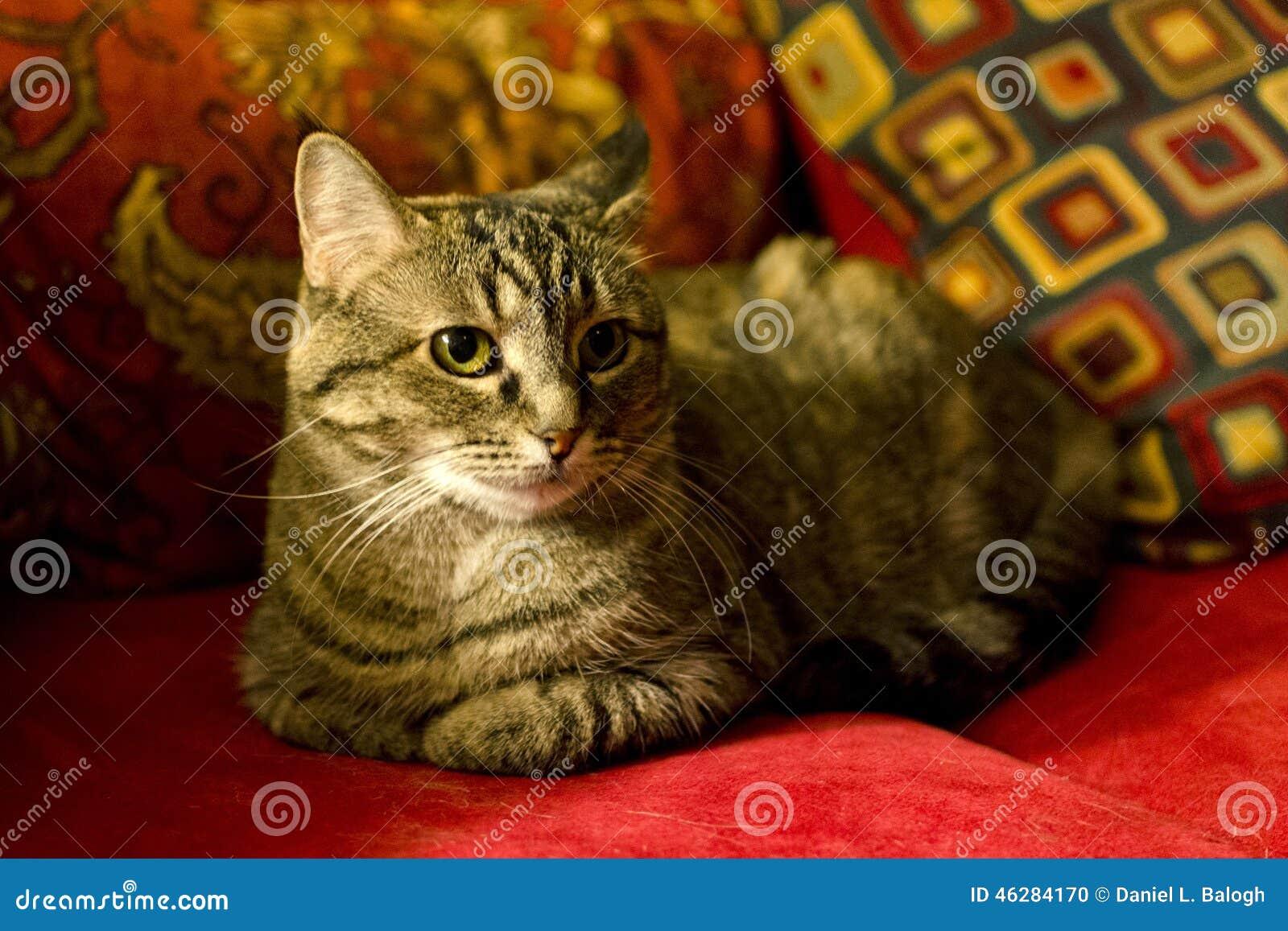 Haus Katze Auf Roter Couch Stockfoto Bild Von Asiatisch 46284170