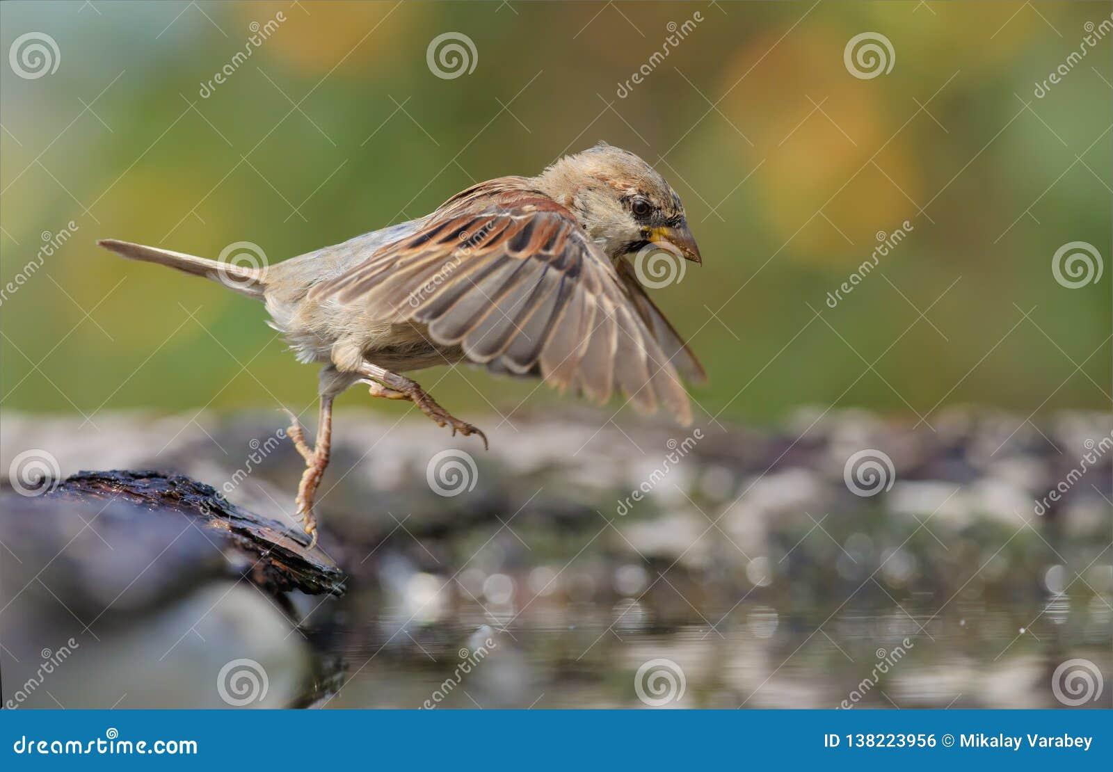 Haussperling, der in den Wasserteich mit ausgedehnten Flügeln und den Beinen springt
