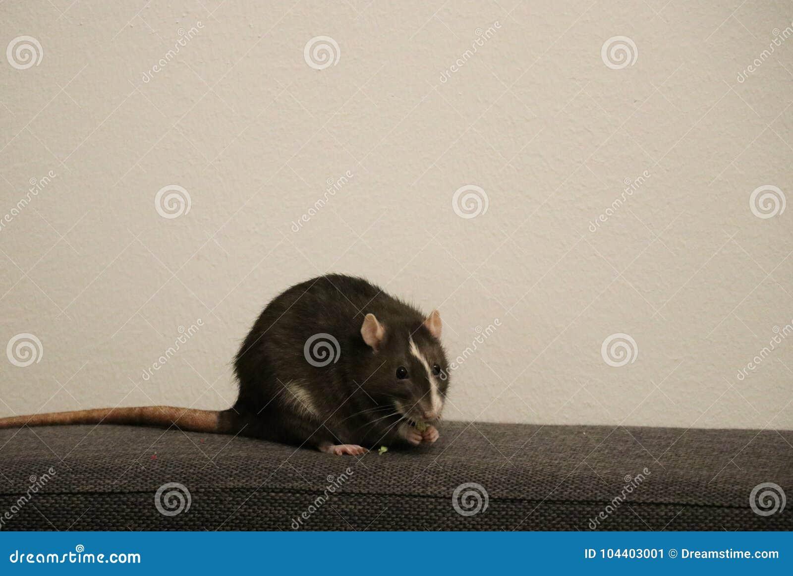 Haustier-Ratten-Essen