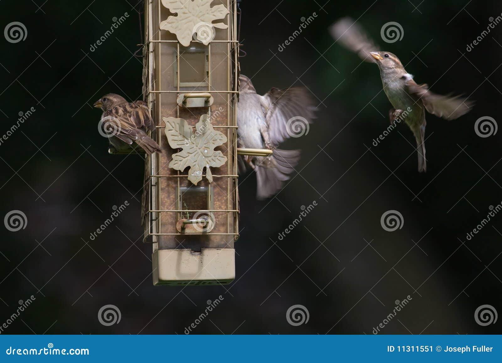 Hauszaunkönige an der Vogelzufuhr