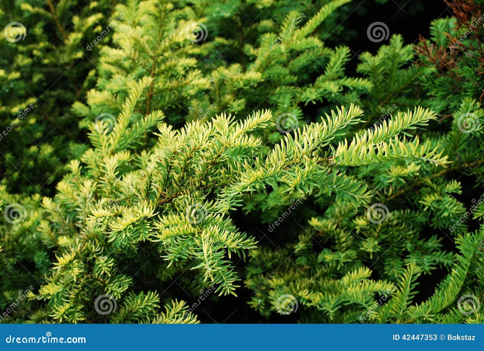 haut troit de petites de sapin d 39 arbre feuilles de vert photo stock image 42447353. Black Bedroom Furniture Sets. Home Design Ideas