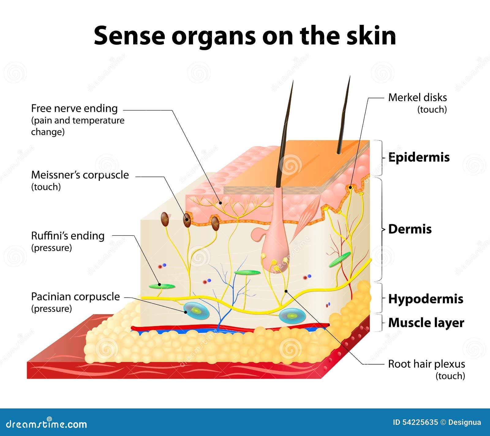 Haut- Empfänger