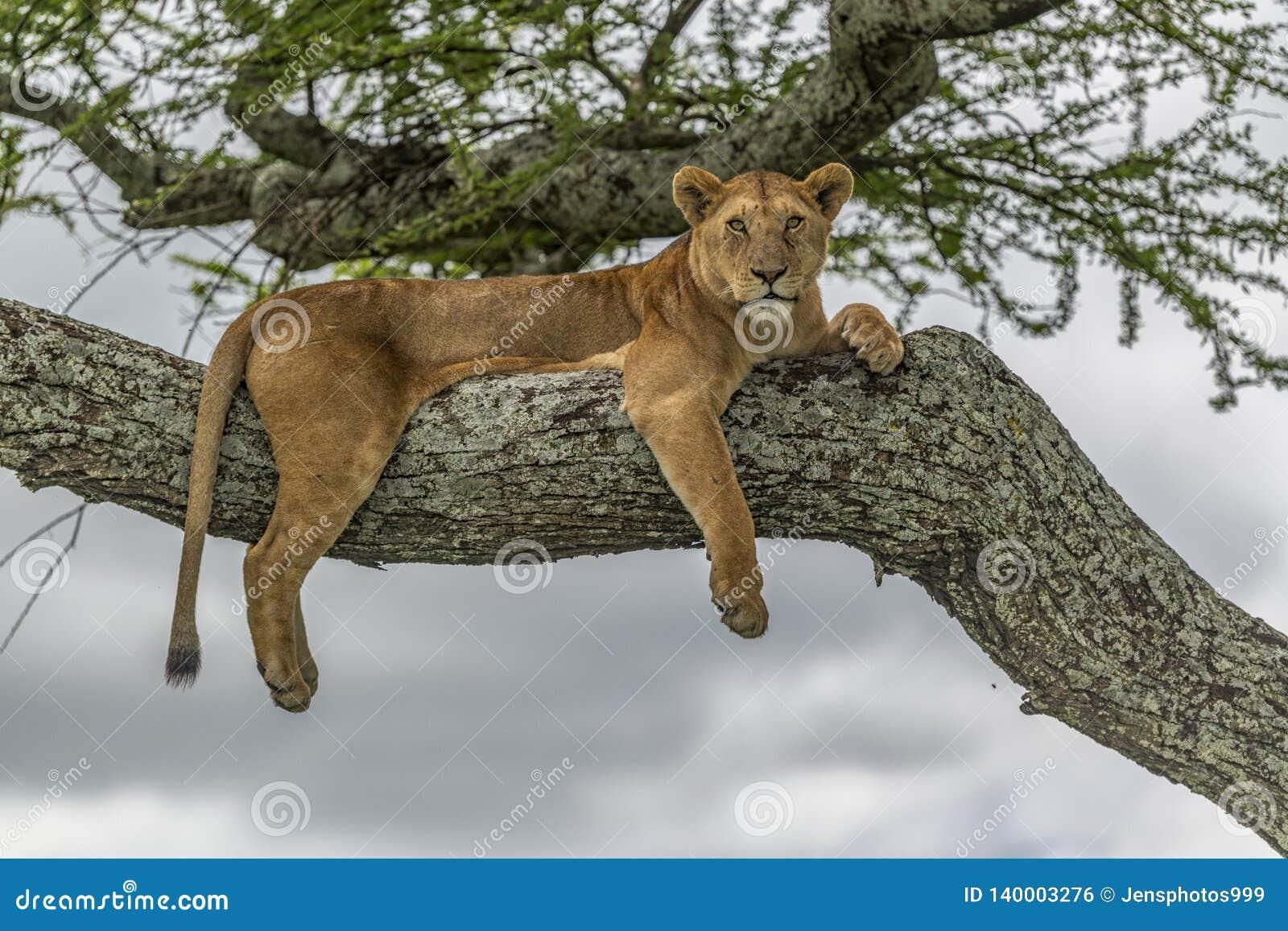 Haute de repos de lionne sur une branche d un arbre d acacia