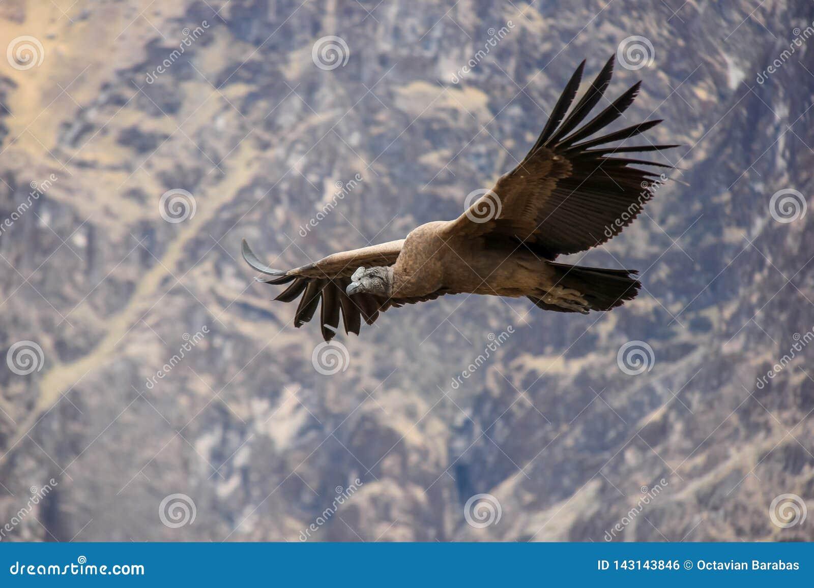 Haute de vol de condor au-dessus de canyon de Colca