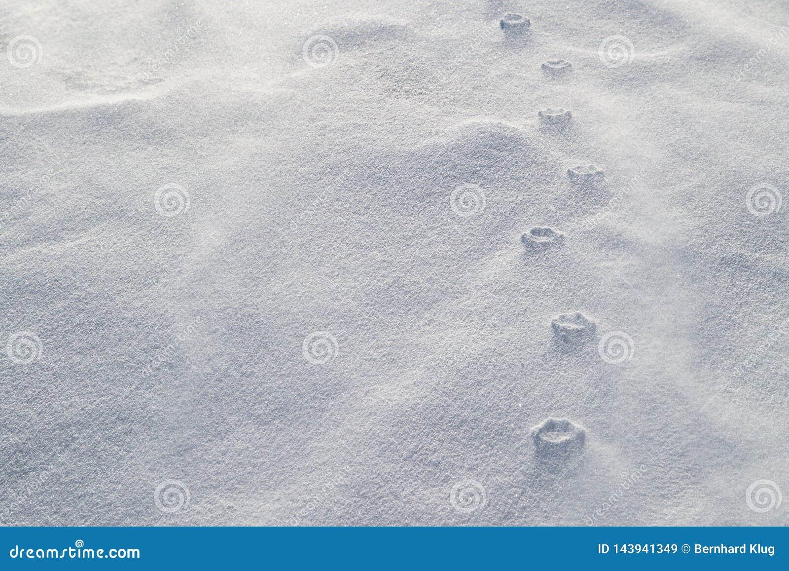 Haute ulga łapa druki w podmuchowym śniegu Silni wiatry żlobili luźnego śnieg wokoło ściśniętych łapa druków
