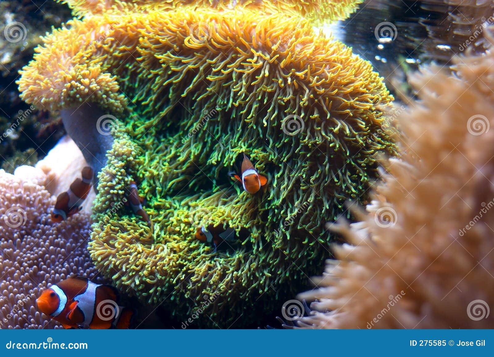 Hav för anemonclownfisk