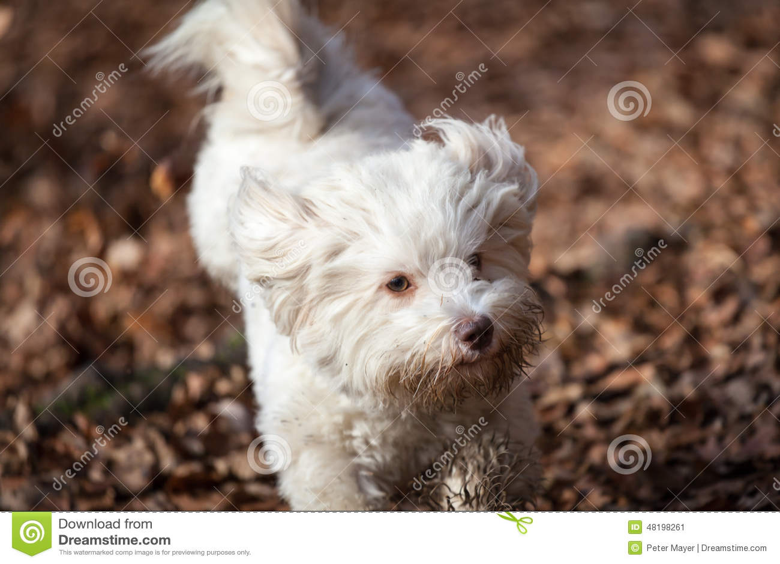 Havanese dog running