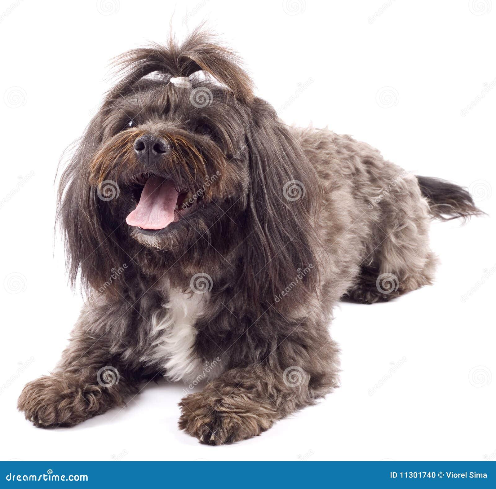 Havanese Hund, der mit dem Mund geöffnet steht