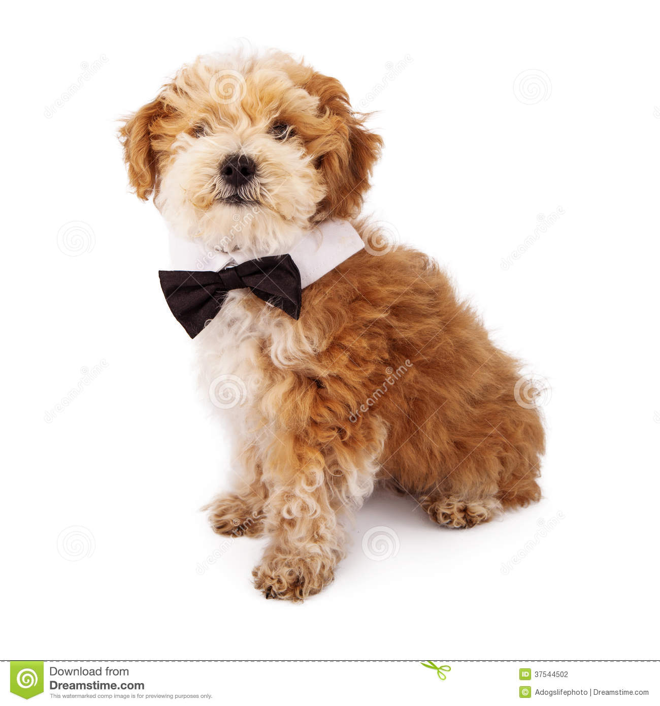 havanese puppy wearing bow tie stock photography image springtime clipart coloring sheets springtime clipart for adult coloring pages