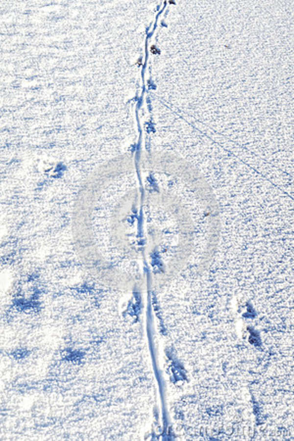 Havel river with footprints of nutria river rat in snow. Havell