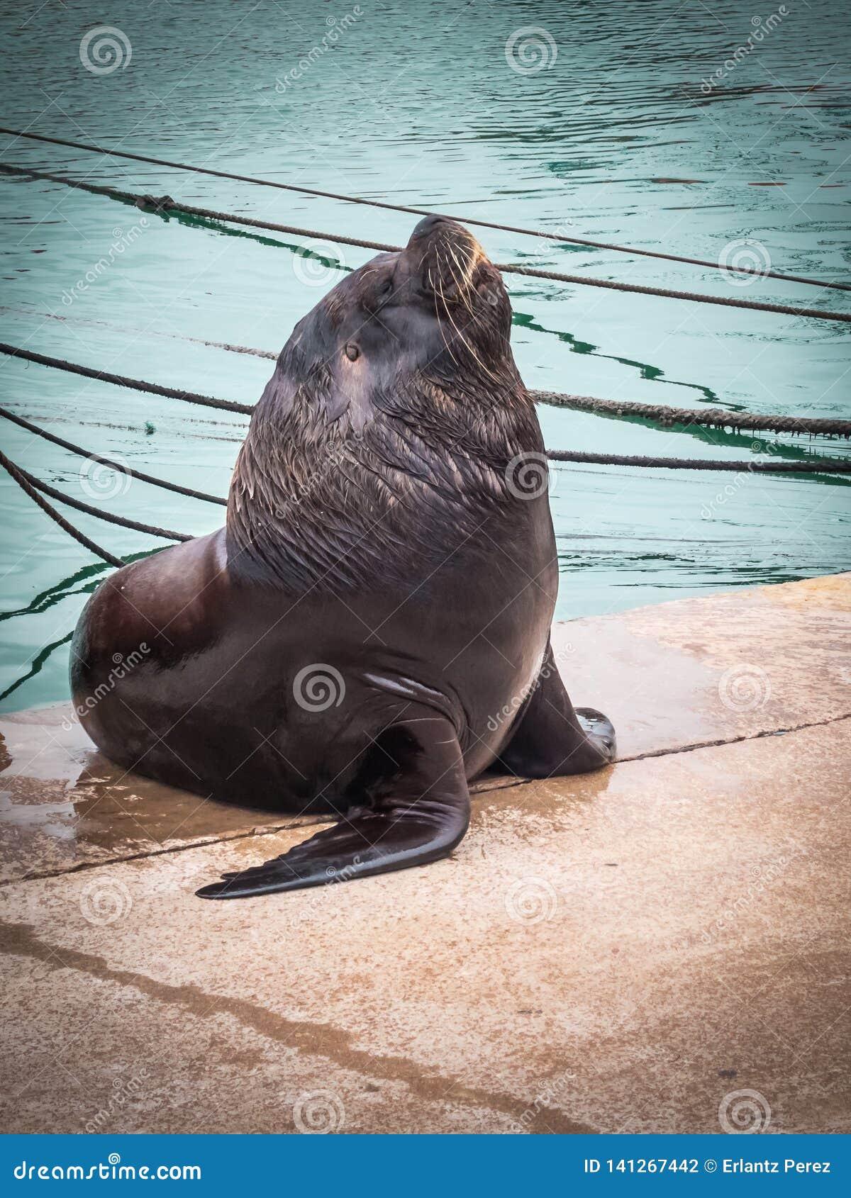 Haven en zeeleeuwen, stad overzeese van van Mar del Plata, Argentinië wolf