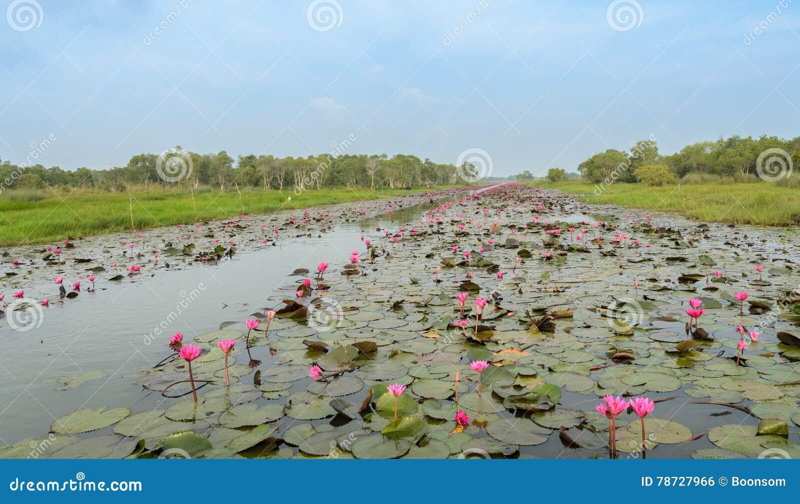 Havet av röd lotusblomma eller näckrons