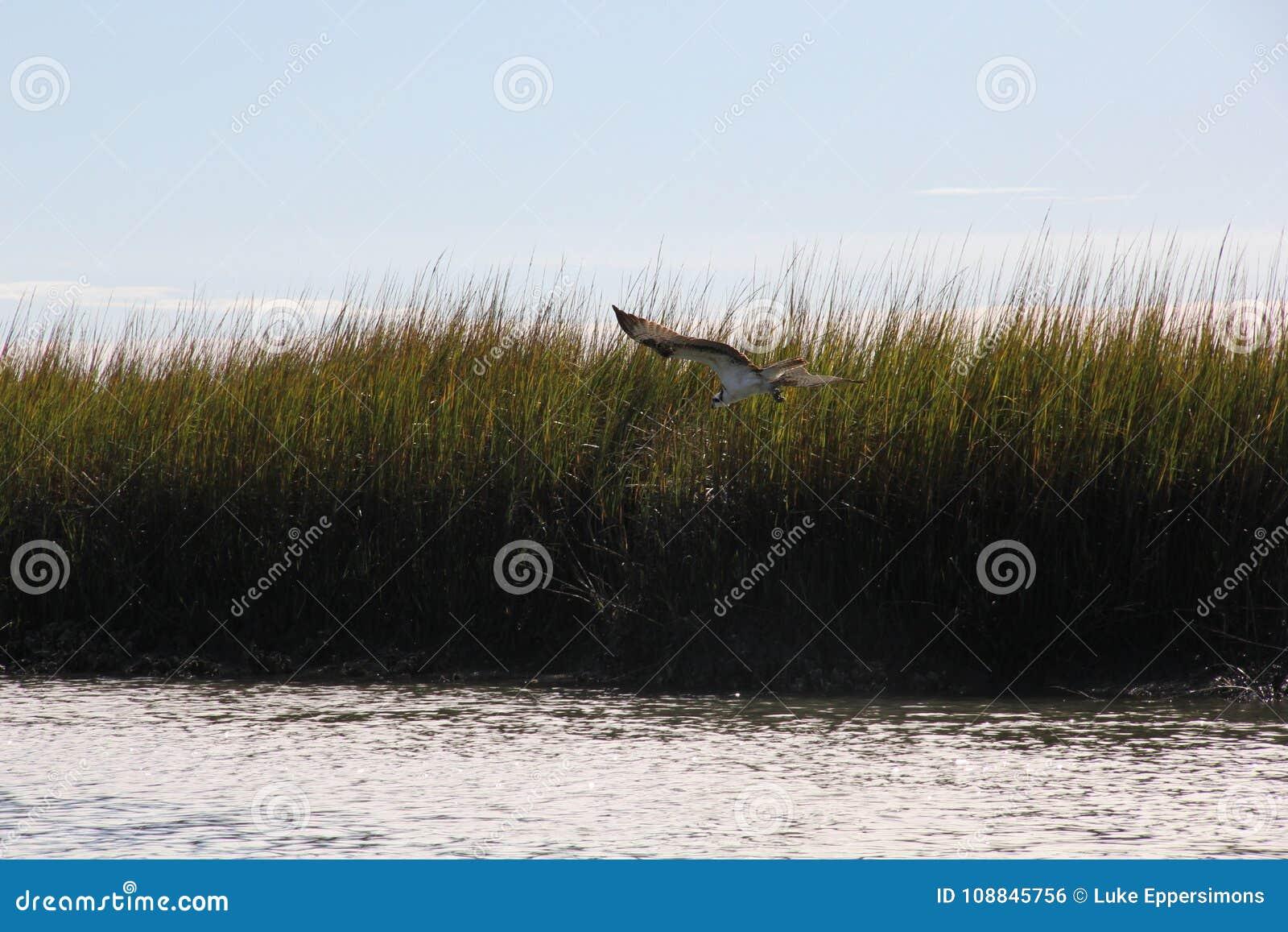 Havik die over zoutwater met moerasachtergrond vliegen in Charleston South Carolina