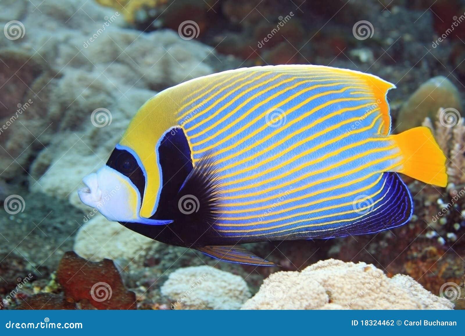 Havsängel