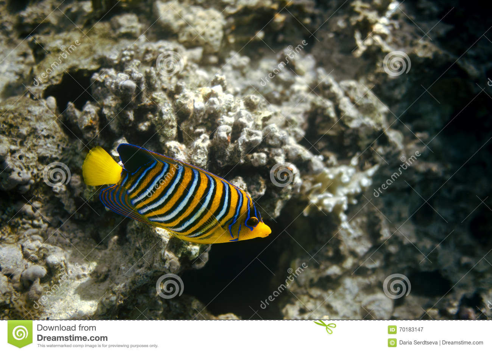Havsängel i Röda havet