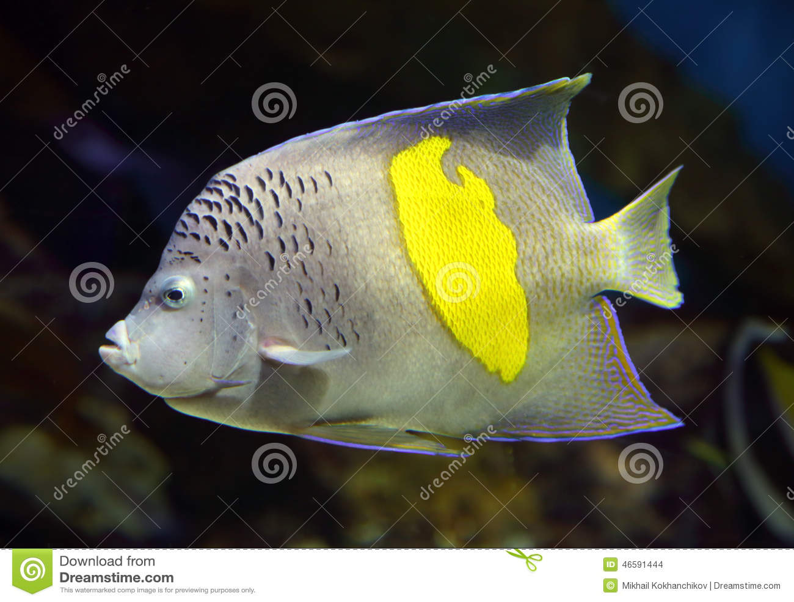 Havsängel - Pomacanthus, maculosus