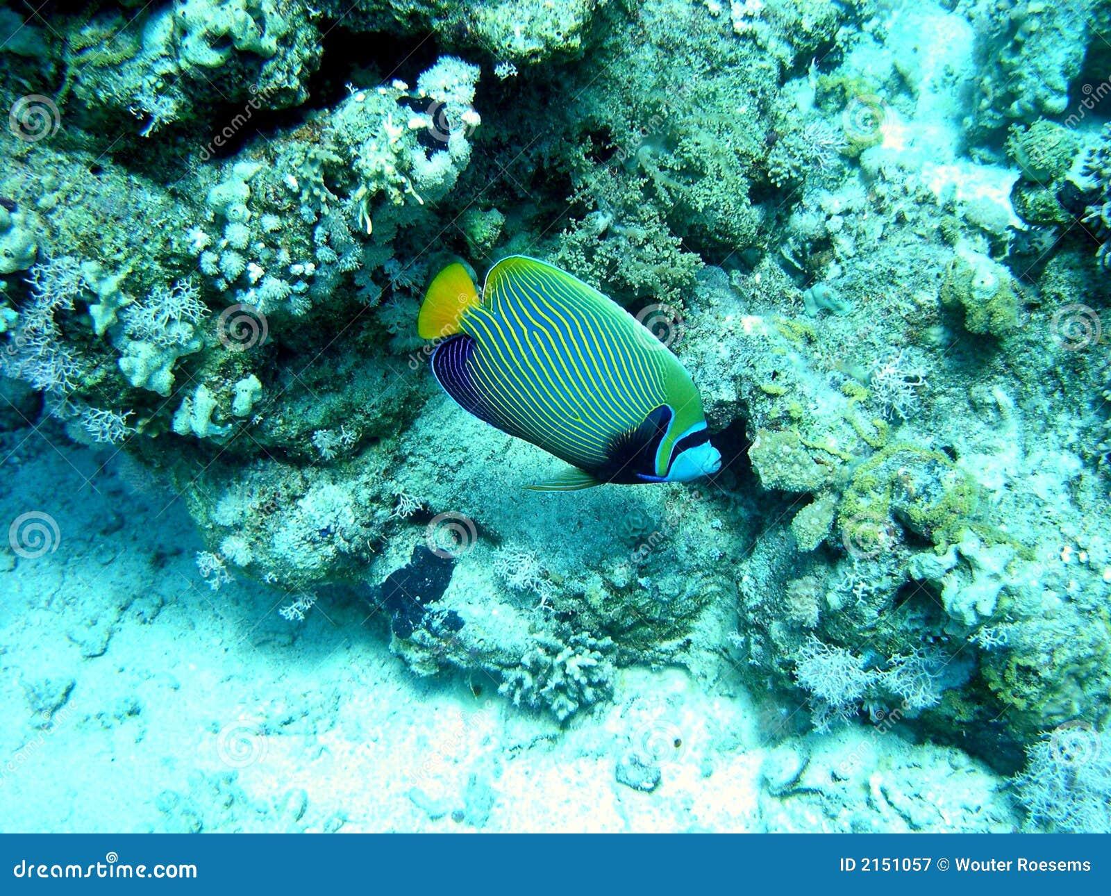 Havsängelkejsare