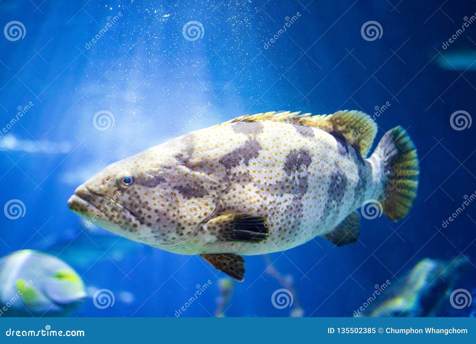 Havsaborrefisk i undervattens- bakgrund