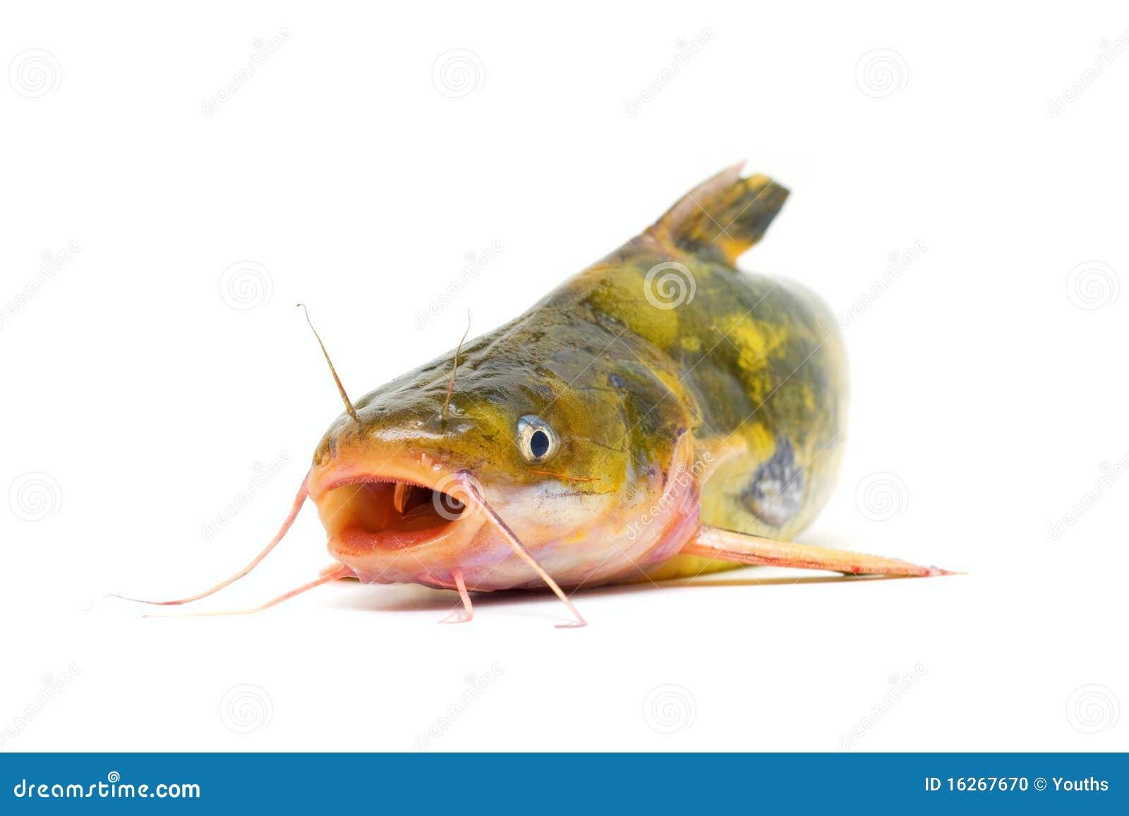 Havskatt