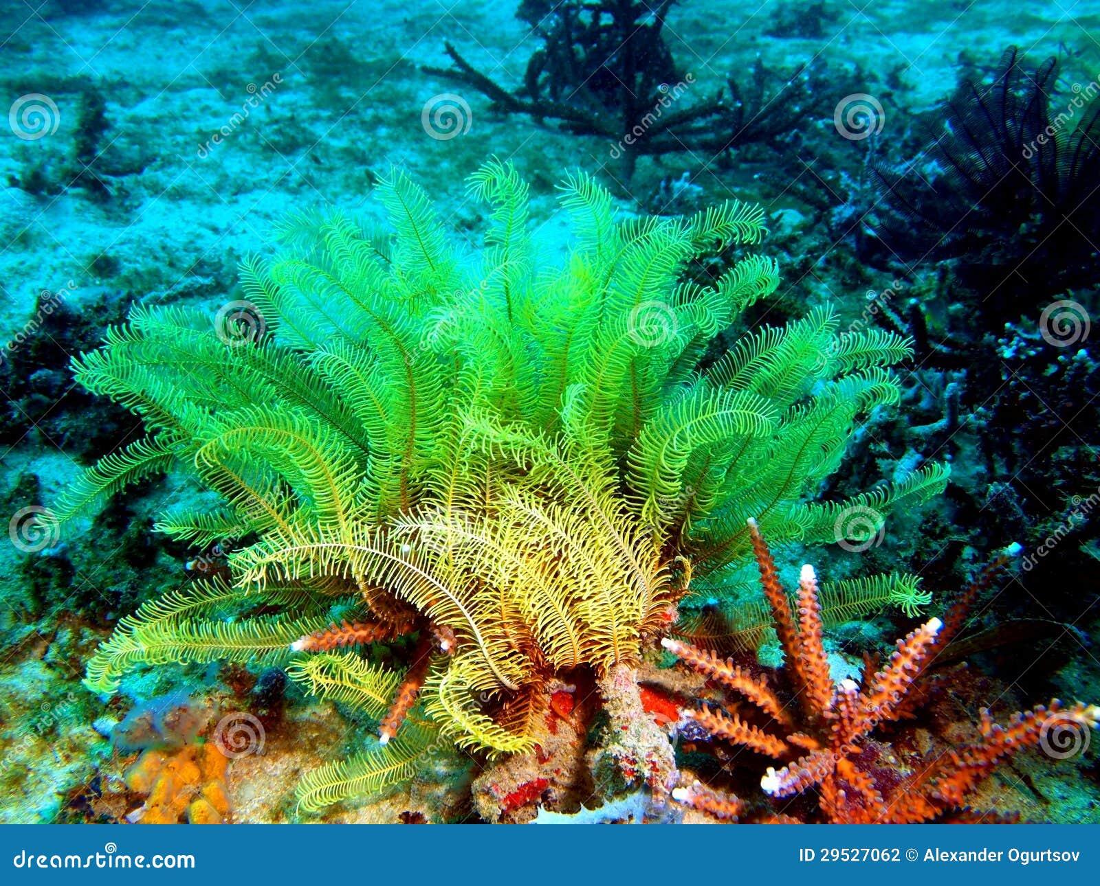 Havslilja av det filippinska havet
