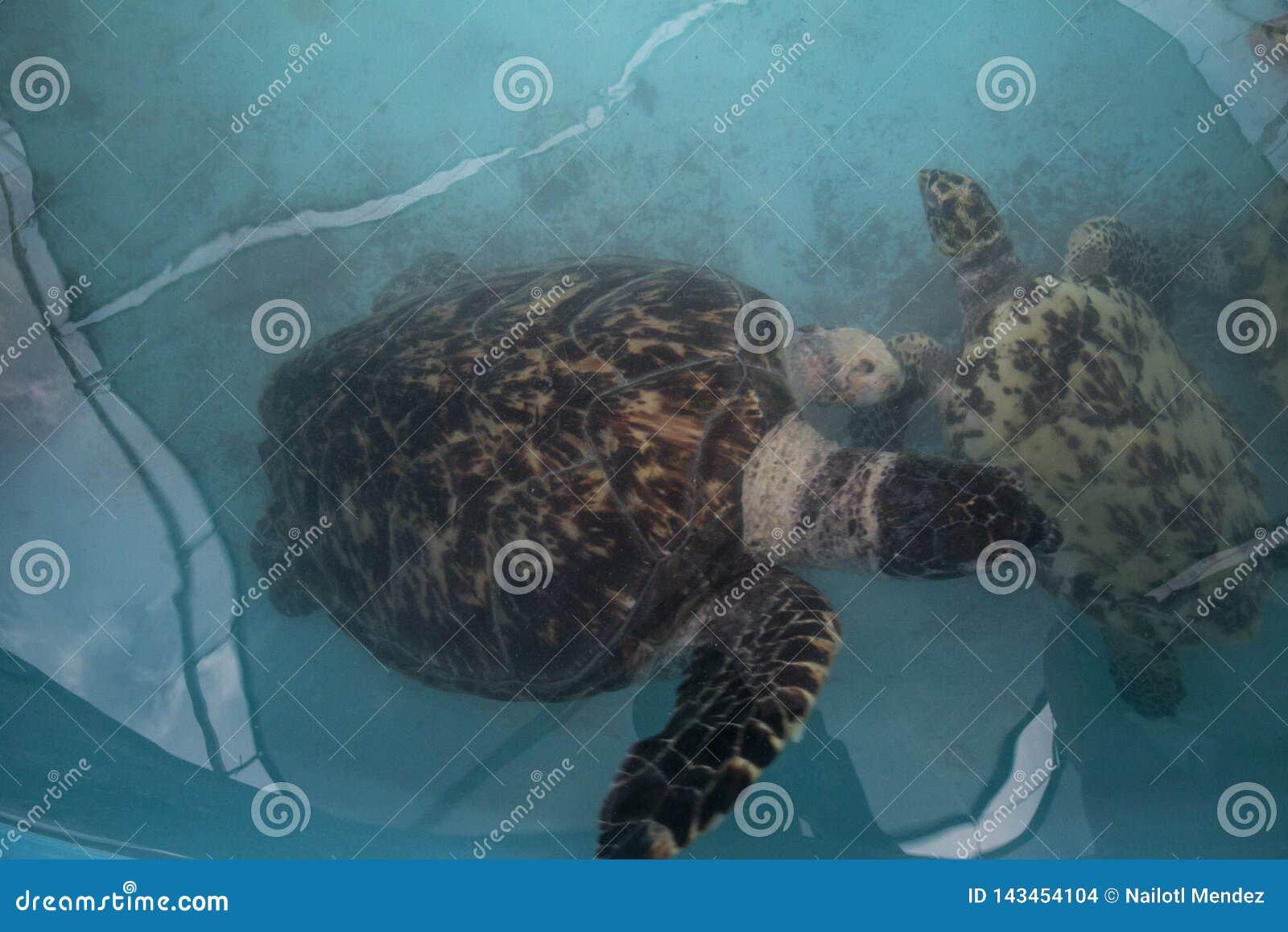 Havssköldpadda, Chelonioidea & x28; Chelonioidea& x29; är en sköldpaddasuperfamily som består av havssköldpaddor