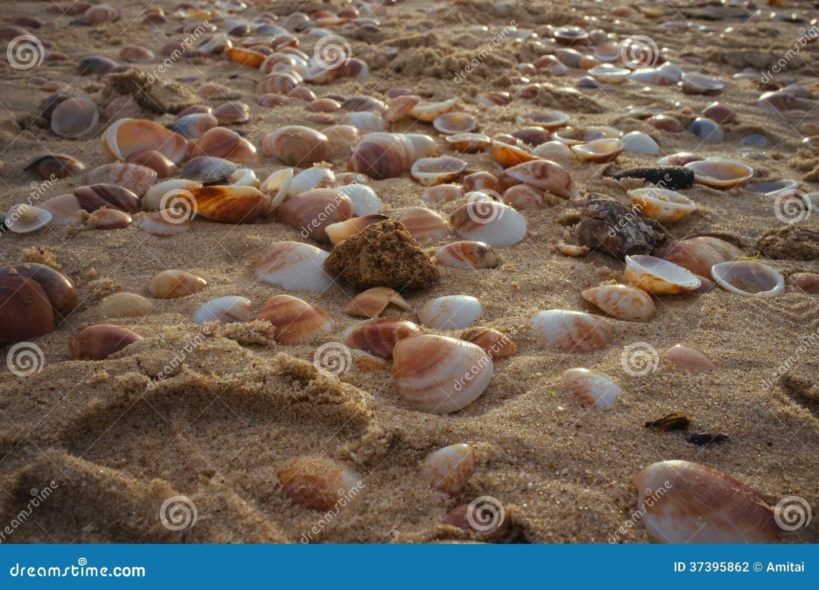 Havsskal i sand#3en