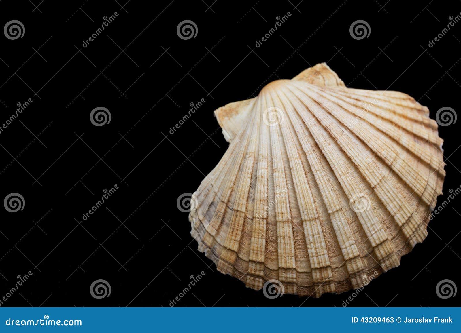 Download Havsskal På En Svart Bakgrund Fotografering för Bildbyråer - Bild av tropiskt, form: 43209463