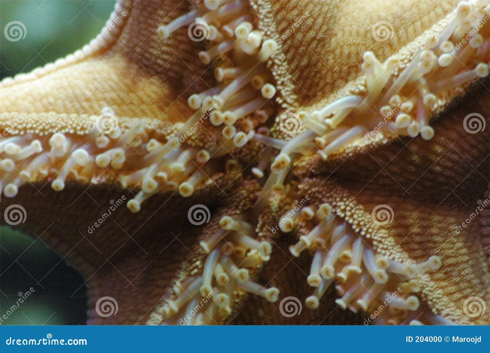Havsstjärna