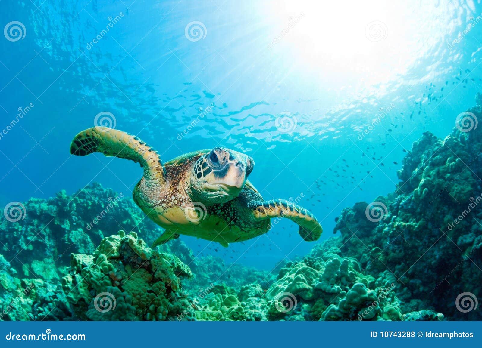 Havssunburstsköldpadda